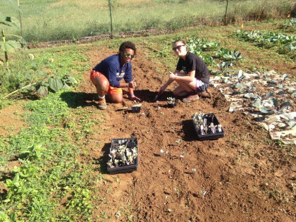 Students planting cabbages.
