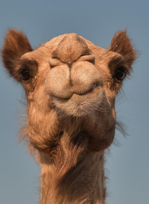 Close up of a camel's face.