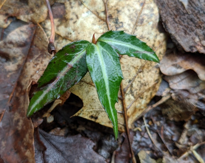 Spotted Wintergreen, observed by Nancyjean for the Blue Ridge Discovery Center's 2020 Backyard ed...