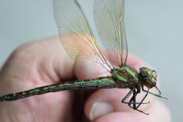 Richard Groover's hand holding a dragonfly.