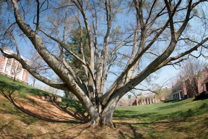 American beech tree that once stood when the MCA Art Gallery is now located.