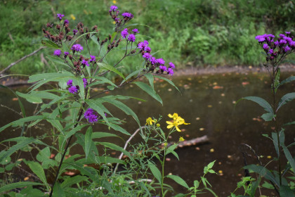 Ironweed flowers at the BCFS