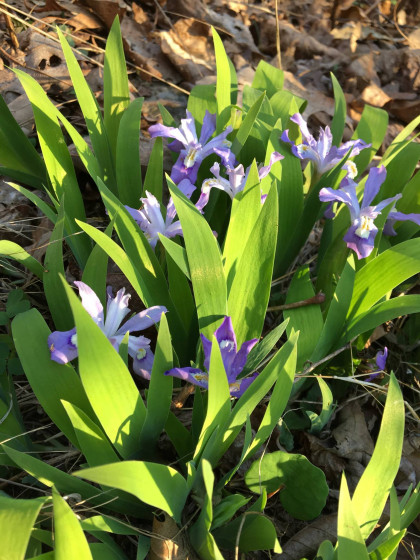 Dwarf purple iris wildflowers