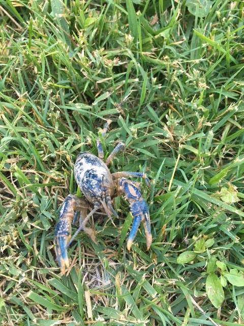 Burrowing crayfish on the grass.